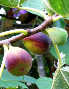 """Fruit plants that double as regular """"yard"""" plants without a lot of special care include figs (Celeste is the best for us), blueberries, pomegranate, native plums, some apples and pears (""""fire blight"""" resistant varieties only), Oriental persimmons, muscadine grapes (with annual pruning), pawpaw, tree quince, elderberry, mulberry, and potted citrus (kumquats, satsumas, lemons are easiest in pots)."""