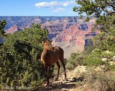 Grand Canyon Association  Female elk, this is a very pretty picture!