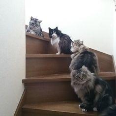 四年前…😻 #アンク#ビット#殿#空牙#アメショ#ペルシャ#ノルチラ#四年前#今は亡き愛するビット#階段で#並んでる#笑#ねこ #猫 #ネコ#cat#愛猫 #猫大好き #多頭飼い #にゃんすたぐらむ