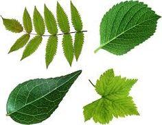leaves에 대한 이미지 검색결과