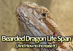 The Life Span of A Bearded Dragon (And How to Increase It): http://www.yourbeardeddragon.com/bearded-dragon-life-span/  #beardeddragon #reptiles #pets