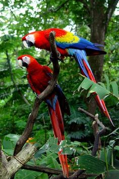 Aves tropicales