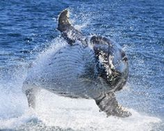Whale Watching, 4 Hour Cruise - Sydney! Book Now or Buy a Gift at Adrenaline.com.au and You Save! Call 1300 791 793 for expert help.