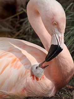 Flamingo feeding chick