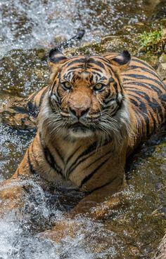 Sumatran tiger, Langka, knows how to keep it cool. Photo by Todd Lahman.(Pretty Tigey...)