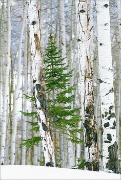 Pine tree among birches...