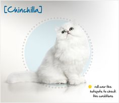Essentially a Persian cat with a paler coat, the first Chinchilla was seen in a color mutation that occurred in the United Kingdom in 1882. One important difference of Chinchillas from Persians is the appearance of their noses.  The distinct snub nose of the Persian is slightly less pronounced in the Chinchilla variety, making them less prone to brachycephalic syndrome.
