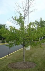 """Source: Kentucky Pest News Autumn has arrived in Kentucky, and now is one of the best times to plant new trees. Cool-season planting allows trees to """"focus"""" on root system development. Garden Solutions, Root System, Trees And Shrubs, Kentucky, Woody, Backyard, 5 Years, Planting, Culture"""