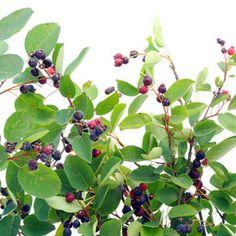 Cruşin (Rhamnus frangula) - beneficii și proprietăți