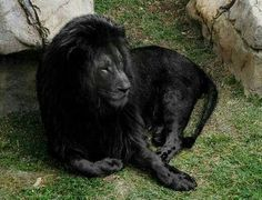 Awesome #black #lion ..wow