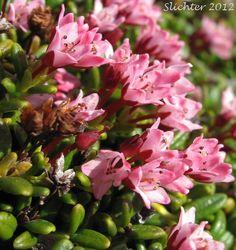 Alpine Azalea, Trailing Azalea: Kalmia procumbens (Synonyms: Azalea procumbens, Chamaecistus procumbens, Loiseleuria procumbens)