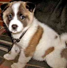 Akita Dog photos often show how majestic of a breed they are. Here are some different images and pictures of ths Akita Inu puppy. Akita Inu Puppy, Akita Puppies, Cute Puppies, Dogs And Puppies, Shiba Inu, Doggies, Big Dogs, Large Dogs, Big Dog Breeds