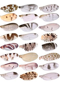 Alpines: INSECT WINGS