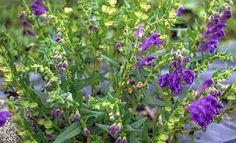 Skullcap - Benefits and Side Effects « Herbs List