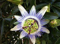 Passiflora. Natural Wonders.