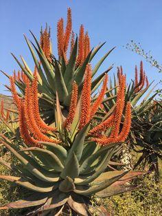 Aloe candelabrum in flower. Flora Flowers, Rare Flowers, Exotic Plants, Cactus Plants, Agaves, Planting Succulents, Planting Flowers, Arizona Gardening, Landscaping Near Me