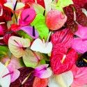 Full colour Anthurium