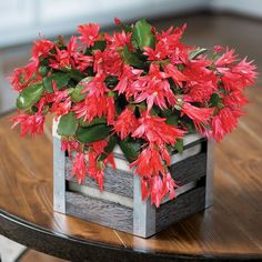 Red Christmas Cactus blooms around Christmas and make a perfect gift for the holidays. Add a pop of color and buy Christmas Cactus today at Garden Goods Direct. Christmas Cactus For Sale, Christmas Cactus Plant, Red Christmas, Cactus Plants For Sale, House Plants For Sale, Plant Sale, All Flowers, Colorful Flowers, Low Lights