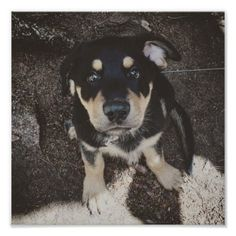 Rottweiler German Shepherd Pup Poster - decor gifts diy home & living cyo giftidea