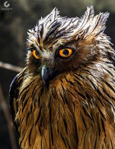Owl by saeed bafadel--owls are amazing creatures