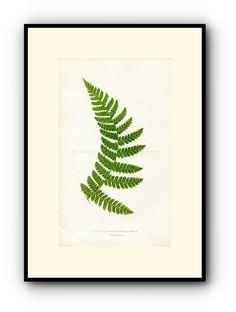 Edward Joseph Lowe Fern (Polypodium Spectabile-Pinna) Antique Botanical Print, 1858 Wood Block Engraving, Book Plate by TheOldMapShop on Etsy