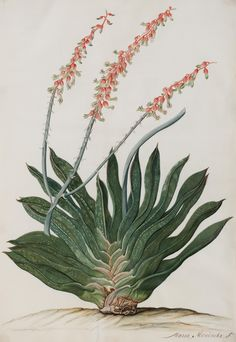 Maria Moninckx - Wikipedia, a dutch painter best known for 9 volumes of botanical paintings for medical herb garden catalog Vintage Botanical Prints, Botanical Drawings, Botanical Art, Botanical Gardens, Propagating Succulents, Cacti And Succulents, Planting Succulents, Plant Illustration, Botanical Illustration