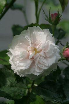 Rosa 'Madame Alfred de Rougemont' (France, 1862). Bourbon rose.