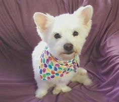 Zoey is an adoptable West Highland White Terrier Westie Dog in Franklin, TN. Zoey is a very petite, young lady of a little over a year old. She is a mix between a Westie and a Shih Tzu, but is as whit...