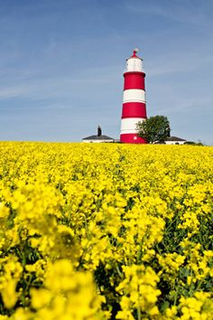 In Fields of Gold, Happisburgh Lighthouse, UK by Paul Macro