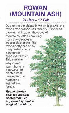 Rowan Tree 21 Jan - 17 feb