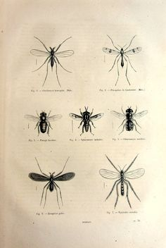 1860 Antique mosquitos flies engraving by LyraNebulaPrints on Etsy, $24.95