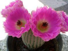#cactus #EchinocereusRigidissimusRubispunus