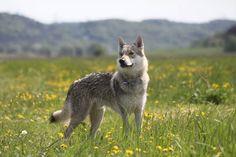 Nano  Tschechoslowakischer Wolfshund | Pawshake Dietrichsdorf