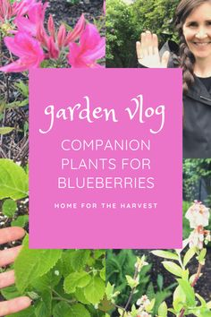 Here is a look at our late spring garden while the blueberry bushes are in bloom. Let's look at some of the best companion plants for blueberries!