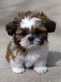 Shih Tzus are true companion dogs. Bred for centuries to be man's best friend, it is no wonder that Shih Tzu puppies are amongst the most popular of toy breeds. Bichon Frise, Havanese Dogs, Havanese Puppies, Dogs And Puppies, Retriever Puppies, Puppy Goldendoodle, Dalmatian Puppies, Labrador Retriever, Funny Puppies