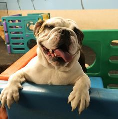 The happiest bulldog ever at Club Canine Dog Park - Carmel, IN - Angus Off-Leash #dogs #puppies #bulldogs #carmel #indiana #dogparks #angusoffleash