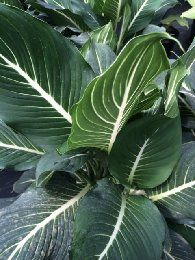 Dieffenbachia memoria corsii cordyline dracaena for Planta ornamental venenosa dieffenbachia