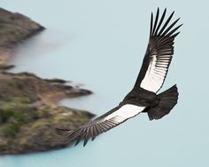 The mighty Andean Condor can be found in the majestic Andes Mountains