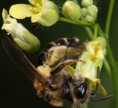 Camelina sativa & Honeybees
