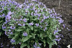 lungwort:  pretty flower, prettier leaves. moist soil, partial/full shade