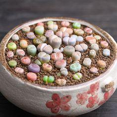 100 seeds Lithops Pseudotruncatella Living Stone Rare Succulent Seeds Home Garden Plant seeds