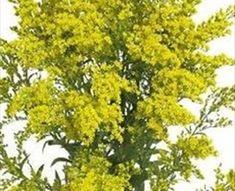 Solidago Tara Gold - Spray Asters - Asters - Flowers by category | Sierra Flower Finder