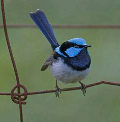 Ornaatelfje - Superb Fairywren (Malurus cyaneus) in Australia by Peter Humphries.
