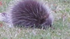 "For all you porcupine lovers out there....Yes, there is such a group, they are called Fisher's and they love to dine on ""Quill-Pig""!"