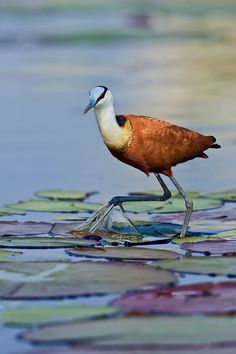 "The Jacana has often been described as the ""Jesus bird"" for their ability to walk on water. Chobe River- Botswana. Jacana Monet by Marc MOL"
