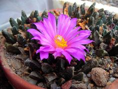 Ariocarpus scaphirostris (Living Rock Cactus) is a slow-growing, grey-green, geophytic cactus, rising barely above ground level...