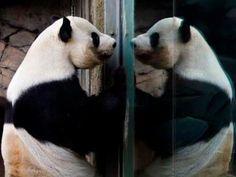 "Looking good, handsome . Yang Yang the giant panda turns 16 on September The father of five (whose original given name, Jiu Jiu, means ""nine nine,"") is the dad of the born on July Panda Cam, Red Panda, Cute Panda, Panda Bears, Unusual Animals, Animals Beautiful, Cute Animals, Save The Pandas, Atlanta Zoo"