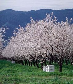 Almond orchard with beehives this is like looking out my back window for so many years in central valley Ca Central Valley California, Salinas California, California Dreamin', Northern California, Beautiful Places To Visit, Great Places, Places To See, California Almonds, San Joaquin Valley