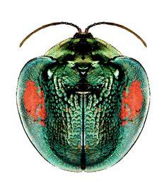 Discomorpha amazona