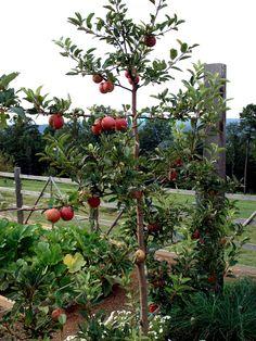 espaliered apple tree, Terrace Garden, Moss Mountain Farm